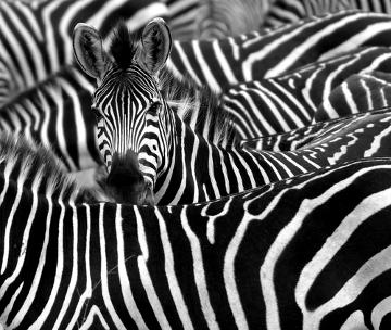 Diversas teorias já foram criadas para explicar por que as zebras são listradas