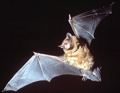 Os morcegos usam o eco de seu próprio grito para localizar obstáculos