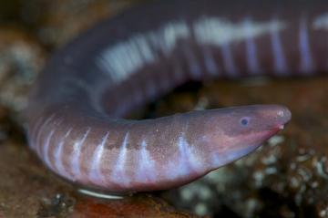 Cobra-cega