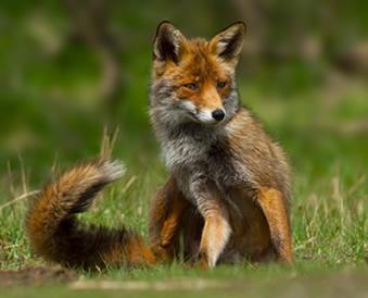 Existem 23 espécies de raposas no mundo