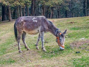 A mula é um animal híbrido estéril oriundo do cruzamento entre uma égua e um jumento