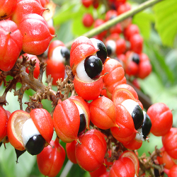 O guaraná contém um grande teor de cafeína