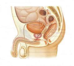 O sistema genital masculino humano é composto por órgãos externos, como o pênis; e internos, como a próstata