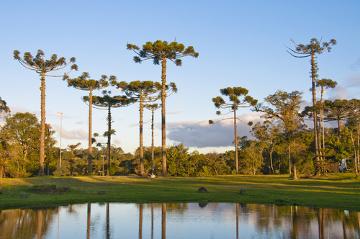 As araucárias são plantas encontradas na região Sudeste e Sul do Brasil