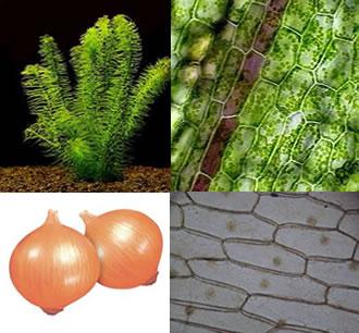 As células vegetais podem ser vistas pelos alunos nas folhas de Elodea sp. ou na película da escama da cebola
