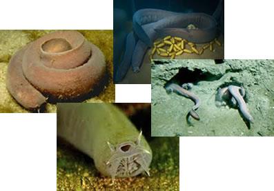 Os peixes-bruxas são animais marinhos de corpo alongado e coloração rosa-acinzentada