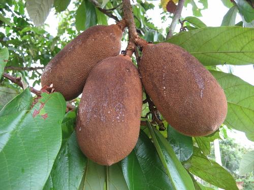 O cupuaçuzeiro é uma planta nativa da região amazônica