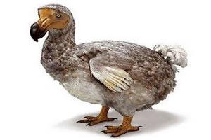 Dodô: ave extinta em meados do século XVIII, em razão da caça indiscriminada feita por colonizadores europeus.