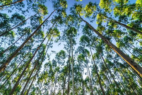 Os eucaliptos são de crescimento rápido, de alta rotatividade natural e comercial, possuindo diversas aplicações e utilidades.