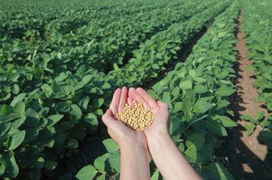 A Região Centro-Oeste é a maior área produtora de soja do país