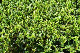 A Camellia sinensis origina o chá-branco