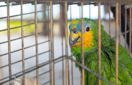 Você sabia que aproximadamente 38 milhões de animais são capturados e vendidos ilegalmente no Brasil?