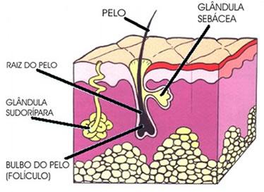 Imagem mostrando a camada da pele onde se encontram as glândulas sudoríparas.