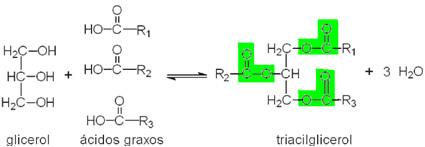 A formação de um glicerídeo se dá pela reação entre um glicerol e ácidos graxos