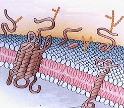 Glicocálix: complexo de moléculas situadas na face externa da membrana plasmática