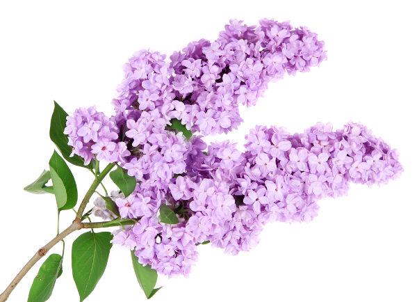 Inflorescências são flores agrupadas em um ramo