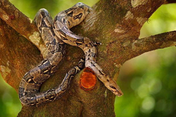 As jiboias são encontradas no solo e também sobre as árvores.