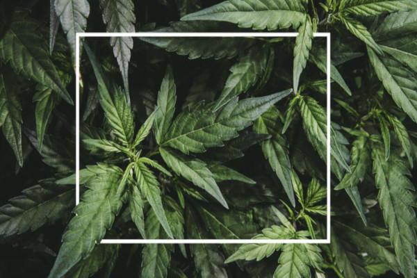 A maconha é uma planta que apresenta substâncias que afetam o sistema nervoso central.