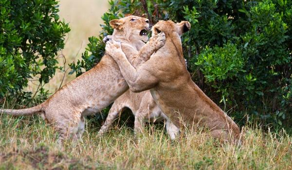 Muitos animais competem por território e alimento