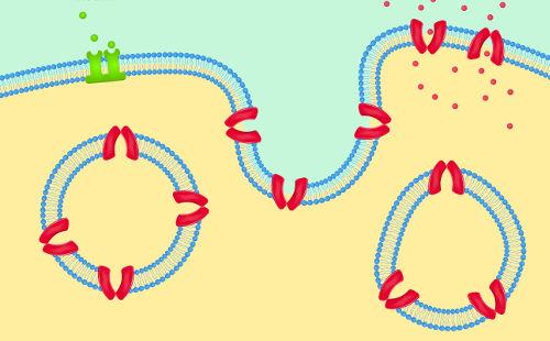 Na endocitose, observa-se a formação de vesículas por invaginação