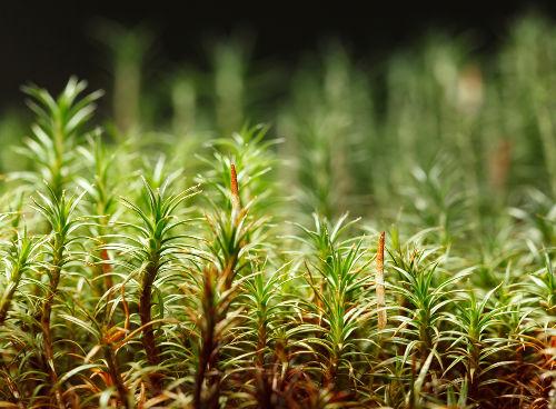 Nas briófitas, a fase dominante do ciclo de vida é o gametófito