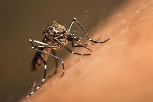 O Aedes aegypti é o transmissor da febre amarela em áreas urbanas