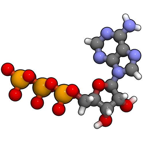 O ATP é uma molécula que quando sofre hidrólise produz energia livre