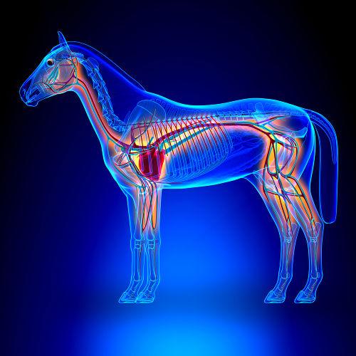 O cavalo é um mamífero que apresenta circulação fechada, dupla e completa