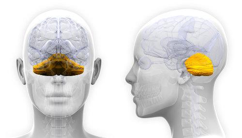 O cerebelo, entre outras funções, controla a nossa coordenação e o equilíbrio