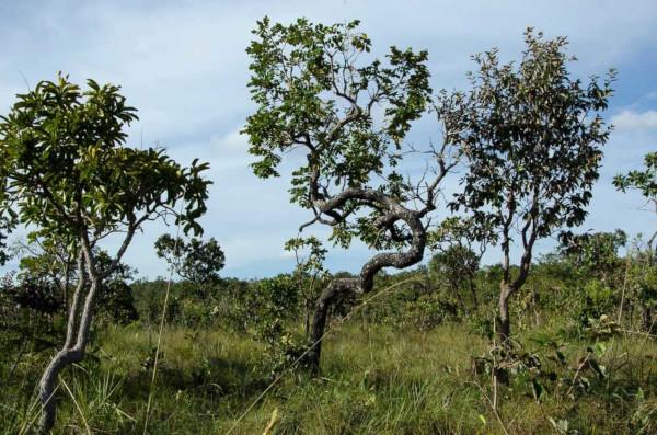 O Cerrado, segundo maior bioma da América do Sul e segundo maior bioma do Brasil, é uma formação vegetal rica em biodiversidade.