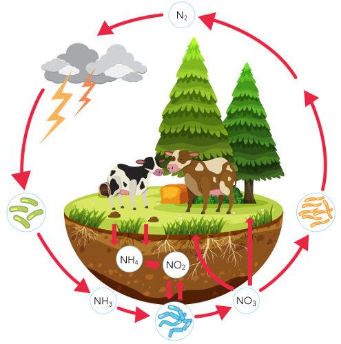 O ciclo do nitrogênio garante a circulação desse elemento no ambiente.