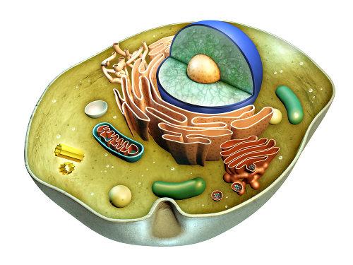 O citoplasma é, nos eucariotos, o local entre a membrana plasmática e o envoltório nuclear