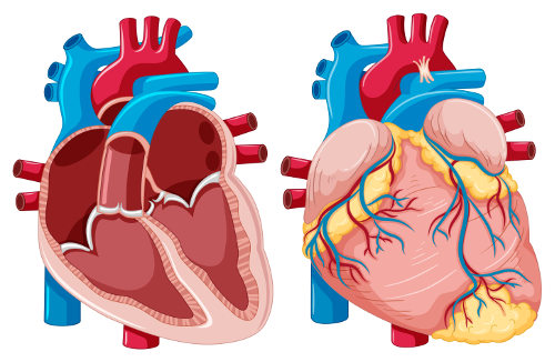 O coração dos mamíferos apresenta quatro cavidades