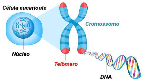O cromossomo é formado por DNA associado a moléculas proteicas