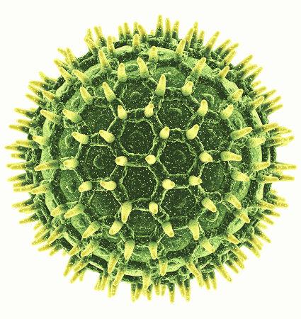 O grão de pólen pode apresentar em sua camada externa ornamentações que auxiliam na taxonomia