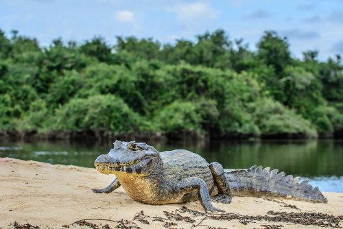 O jacaré é um réptil incluído na ordem Crocodilia