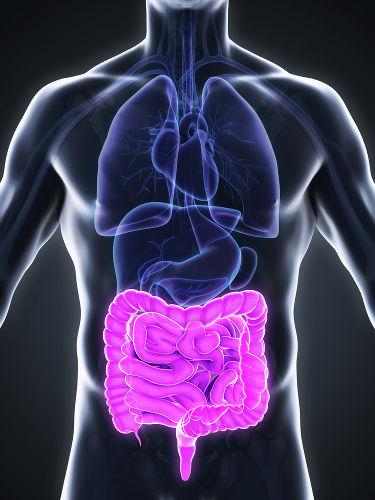 O mesentério prende as alças intestinais à parede da cavidade abdominal