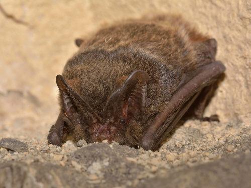 O morcego é um exemplo de animal hibernante