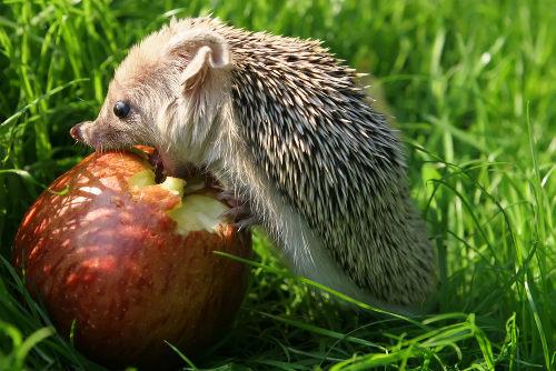 O ouriço está alimentando-se de um produtor, logo, é um consumidor primário