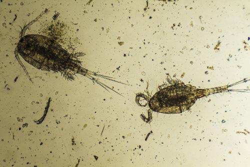 O plâncton é formado por diversos organismos e pode ser classificado em fitoplâncton e zooplâncton