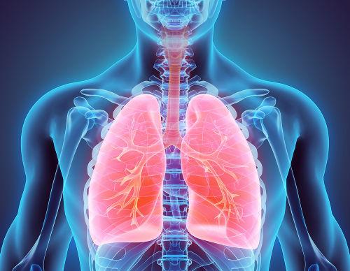O pulmão é uma estrutura do sistema respiratório