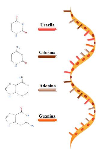 O RNA é um ácido nucleico formado por uma fita simples