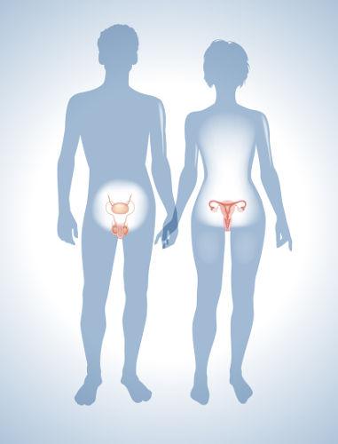 O sistema genital fornece as condições para que a reprodução aconteça