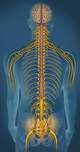O Sistema Nervoso Periférico é constituído por nervos e gânglios