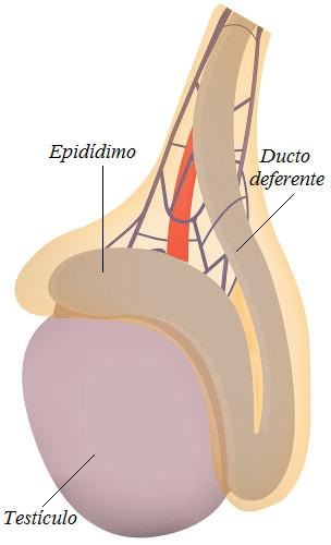 O testículo está localizado no interior da bolsa escrotal
