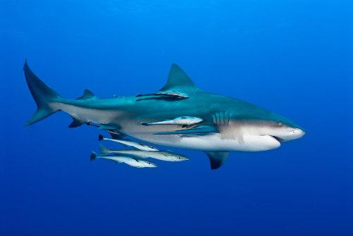 O tubarão e a rêmora é o caso mais clássico de comensalismo