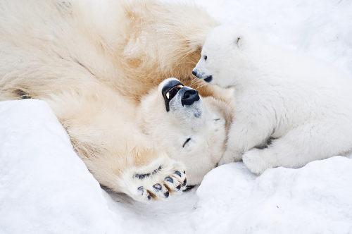 O urso-polar é o maior animal carnívoro terrestre