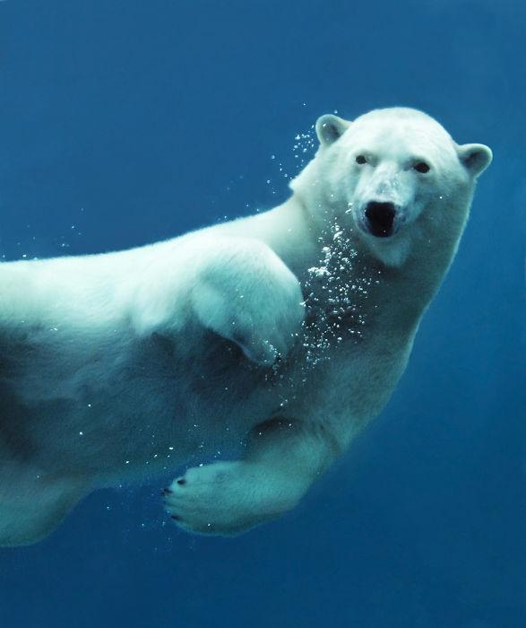 O urso polar é um animal endotérmico e, portanto, é capaz de sobreviver em ambientes com temperaturas mais baixas
