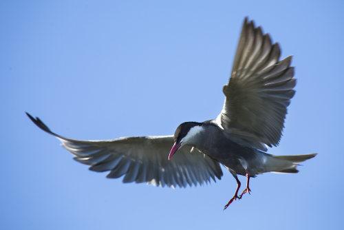 O voo das aves está relacionado com um corpo leve e estruturas que ajudam na propulsão
