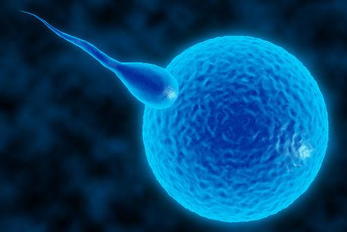 O zigoto é formado pela união entre espermatozoide e ovócito